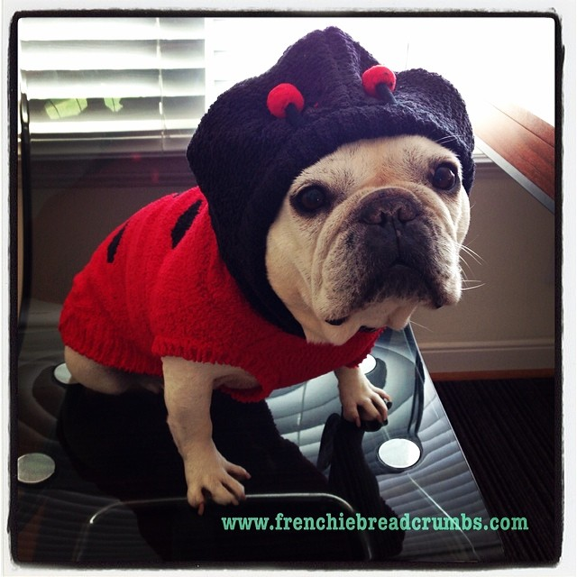 Is it #Spring yet? I'm getting news in my ladybug antennae that says it'll be here in 20 days and they don't lie. Want to be part of my #ladybug crew? Get this hoody at www.frenchiebreadcrumbs.com/shop, guys! #softandsnuggly #perfectfit