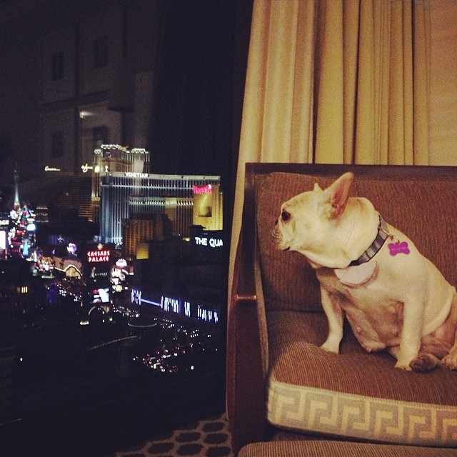 Checking out the view from my penthouse suite (not really) in Sin City! The world is my oyster! #vegas #caeserspalace #dogfriendly