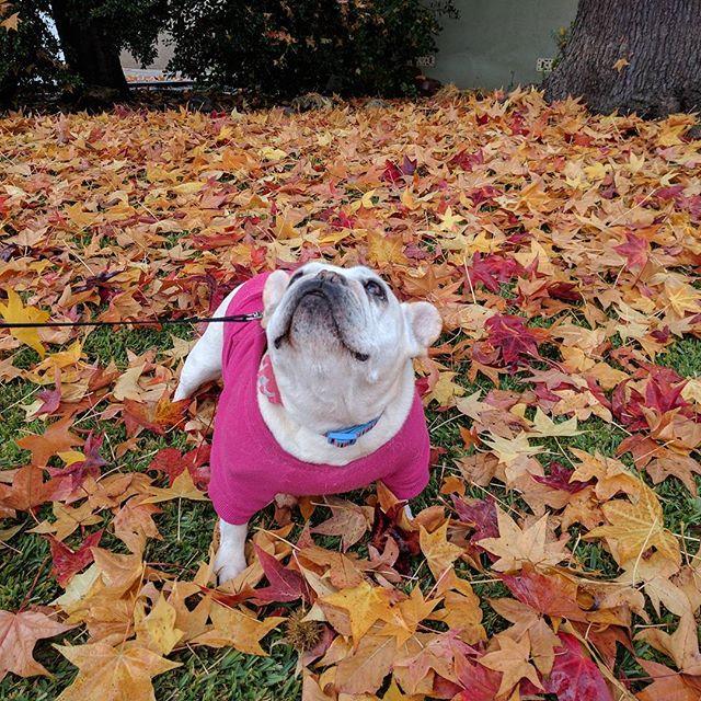 Can I has more leafs pleeze? #fallingleaves