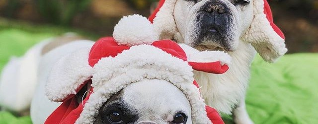 FrenchieBreadCrumbstagram! Cute French Bulldogs Blog